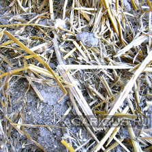 Chicken manure of chickens grown on whole rice straw