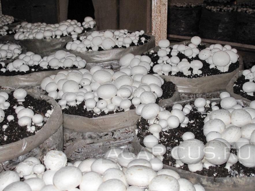 Mushrooms in Kazahstan